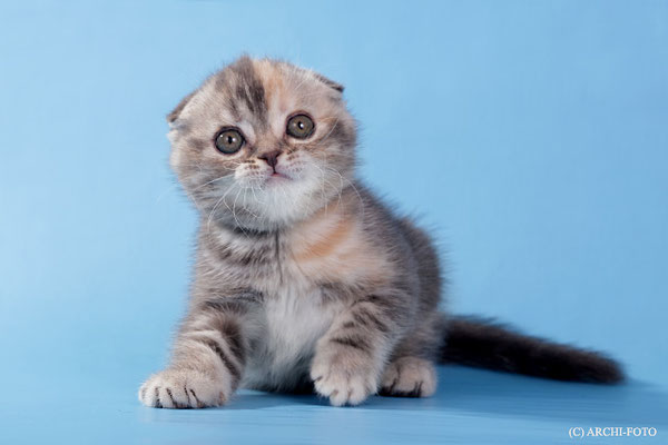скоттиш фолд, кошка голубо-кремового окраса, scottish fold blue-cream female