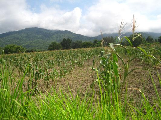 Das neu gekaufte Ackerfeld reicht bei guten Erntebedingungen für die Selbstversorgung der gesamten Schule.
