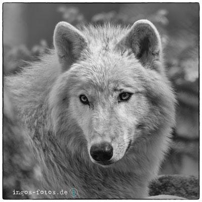 Hudson Bay Wolf, Wildpark Lüneburger Heide
