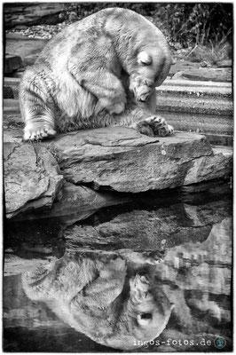 Eisbär, Tiergarten Nürnberg