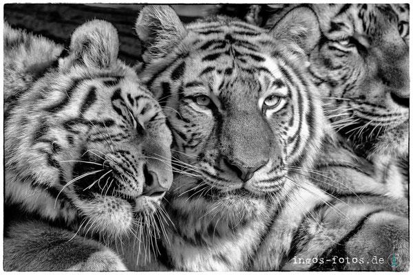 Sibirische Tiger - mit freundlicher Genehmigung von Hagenbeck