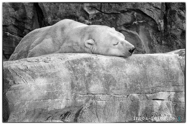 Eisbär, Erlebnis-Zoo Hannover