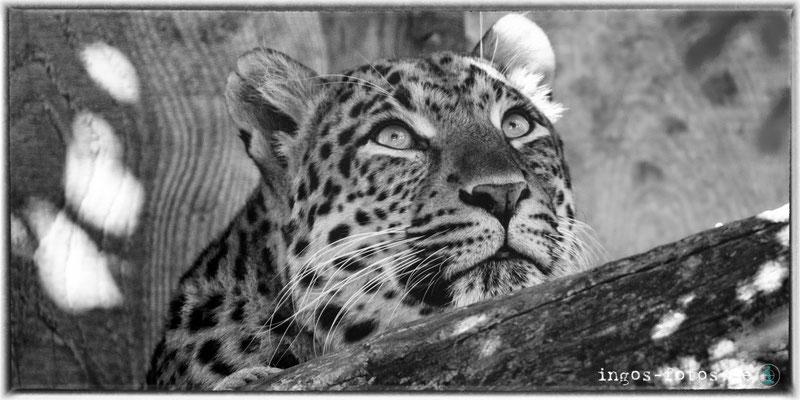 Leopard, Zoologischer Stadtgarten, Karlsruhe