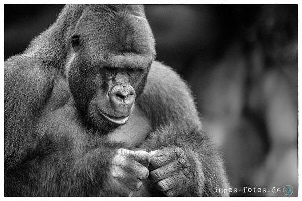 """Gorilla """"Viatu"""", Zoo Frankfurt"""