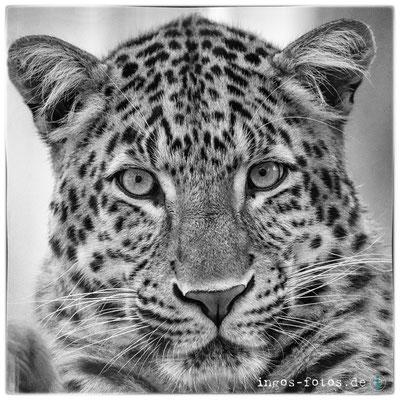 Chinesischer Leopard, Erlebnis-Zoo Hannover