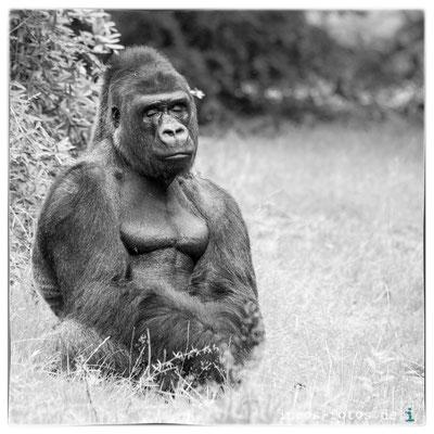 Gorilla, Apenheul
