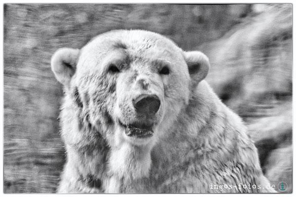 Eisbär (Spiegelung), Tiergarten Nürnberg
