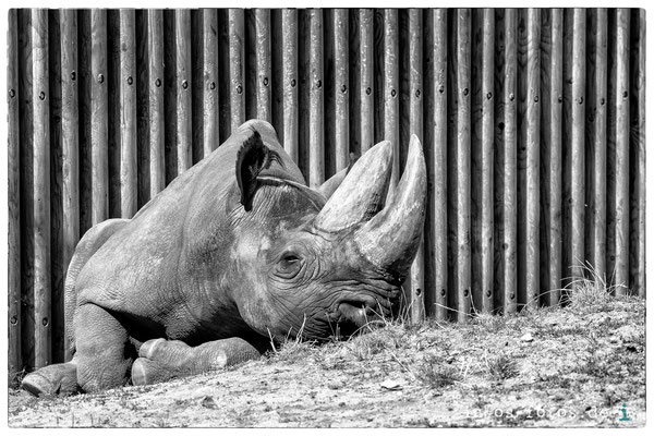 Spitzmaulnashorn, Zoo Frankfurt