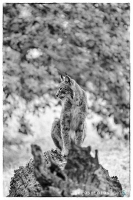 Europäischer Luchs, Tierpark Sababurg