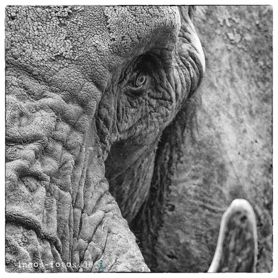 Afrikanischer Elefant, Opelzoo, Kronberg