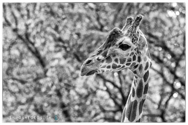 Giraffe, Zoo Frankfurt