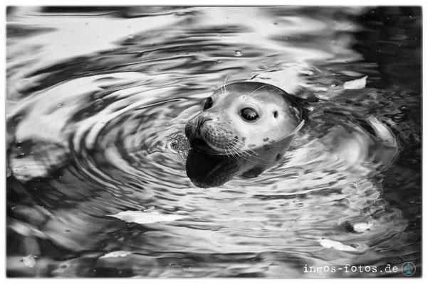 Seehund, Zoo Frankfurt
