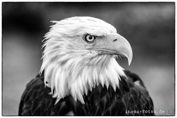 Weißkopfseeadler, Adlerwarte Berlebeck
