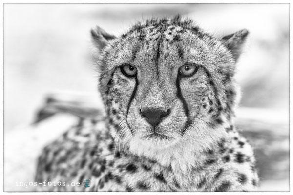 Gepard, Opelzoo, Kronberg