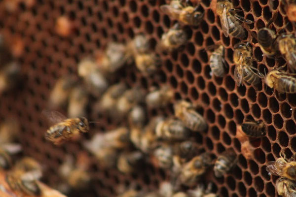 Die dunkle  Biene ganz nah.