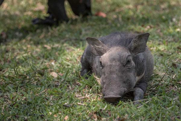 Matthias Gößmann: Warzenschwein im Kafue Nationalpark; Zambia