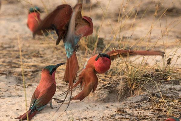 Matthias Gößmann: Spinte oder Bienenfresser (bee eater merops apiaster) bei der Kalizo Lodge; Namibia