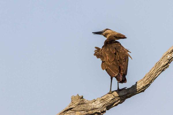 Matthias Gößmann:  Hammerkopfvogel im South Lungwa Nationalpark; Zambia