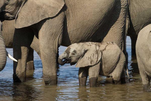 Matthias Gößmann: Elefantenfamilie im South Luangwa Nationalpark; Zambia