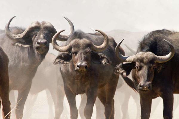 Matthias Gößmann: Büffelherde im MudumuNationalpark; Namibia