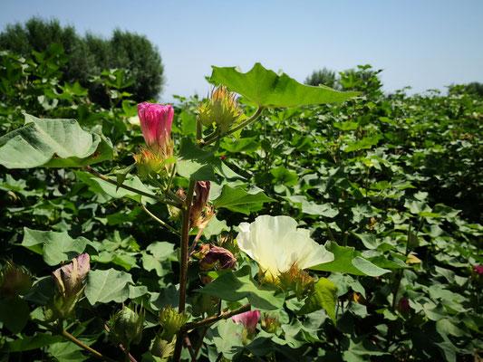 hier die zwei Farben Blüten der Baumwollen, Malvengewächs