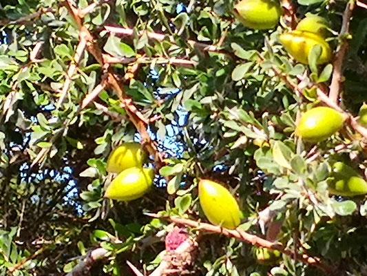 immer wieder Arganbäume, die Früchte sind zum Teil schon gepflückt