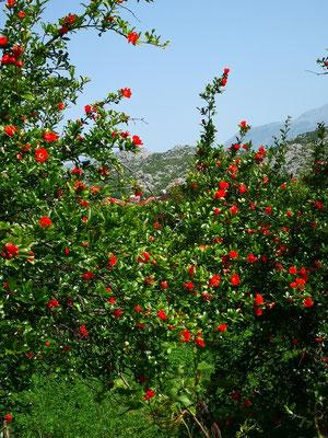 Granatapfelplantagen, in leuchtender Blüte