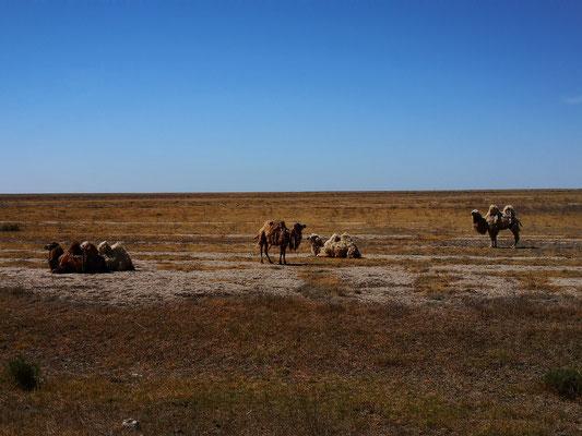 Wir sehen sehr viele große Kamelherden