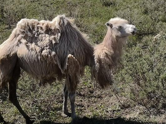 Kamele fotografieren, meine Lieblingsbeschäftigung während der holprigen Fahrt