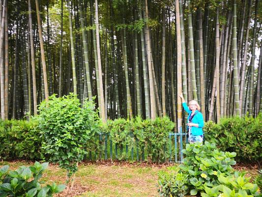 Bambuswald an der Strandpromenade
