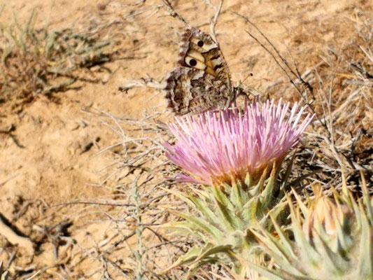 der glückliche Schmetterling