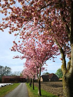 Kirschblüte in Welte