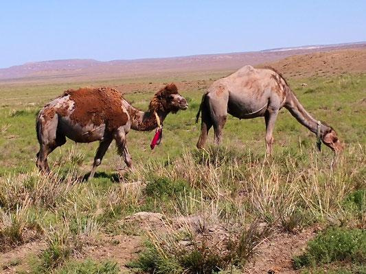 immer wieder Kamele