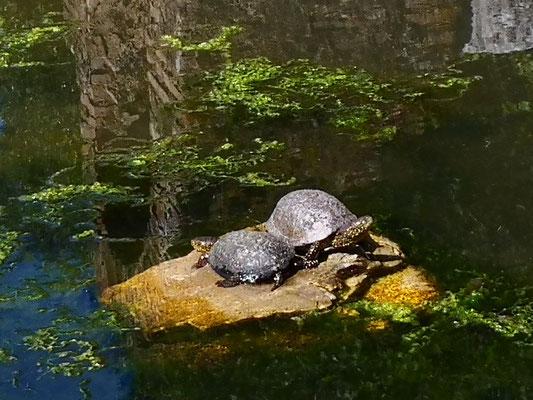Die Schildkröten haben einen Goldschimmer