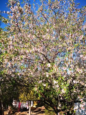und blüht (Mandelbaum)