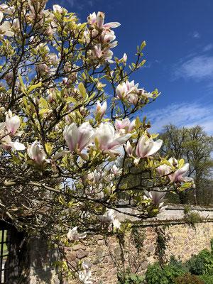 Magnolienbaum Dirleton Castle