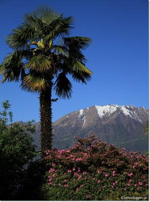 Palmen und noch schneebedeckte Berge - Tessin eben :)