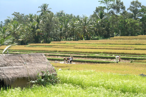 Reisterassen bei Ubud