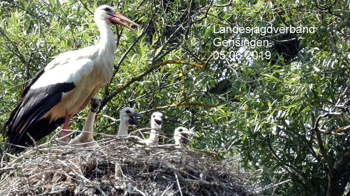 Altvogel und vier Jungtiere auf dem Gelände des Landesjagdverbandes in Gensingen