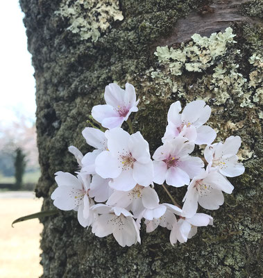 桜は今年も綺麗