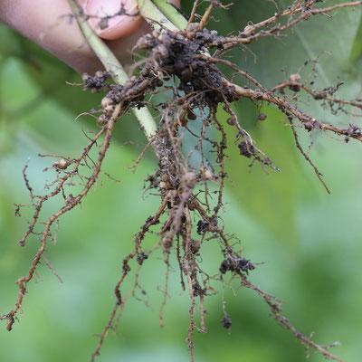 (相互関係面)モロッコインゲンの根っこの根粒菌。空気中の窒素を地中に固定しています。根粒菌はインゲン豆から糖をもらい、インゲン豆は根粒菌から窒素をもらっています。