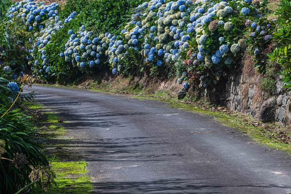 Landstrasse mit wild wachsenden Hortensien