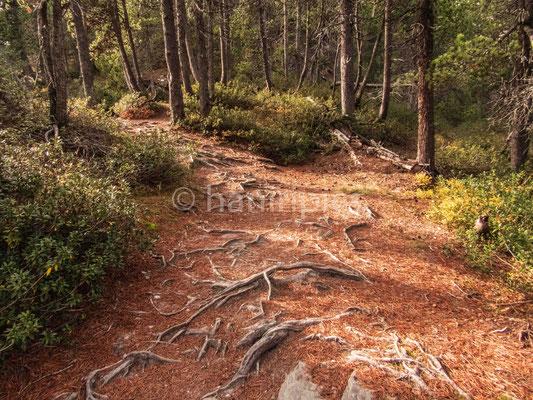 Waldpartie Belvedere bei Maloja