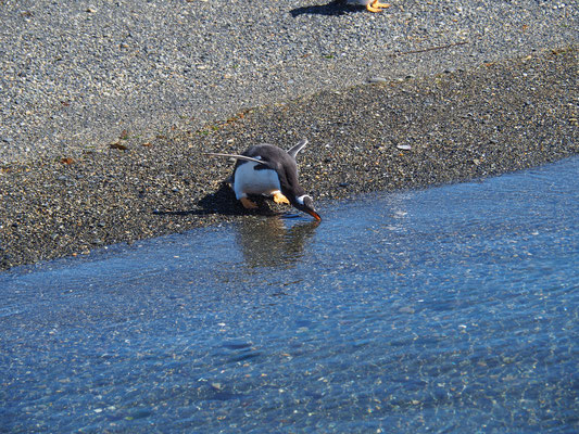 Ein Brillenpinguin am Strand der Pinguininsel im Beagle Kanal