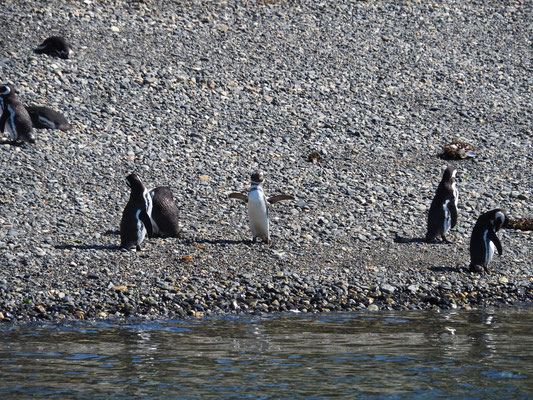 Megallanpinguine am Strand im Beagle Channel