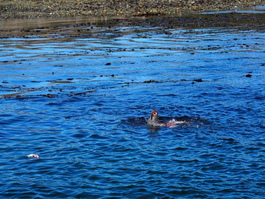 Der größte Feind der Pinguine: Der See-Leopard
