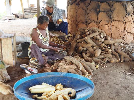Maniok muss erst richtig verarbeitet werden, bevor er genießbar wird