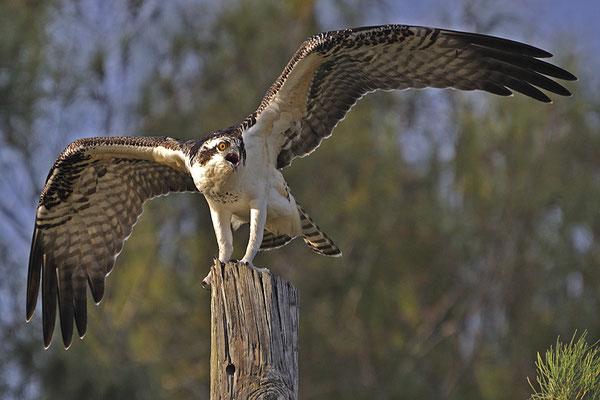 Junger Fischadler (Florida, Juni 2009)