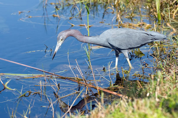 Blaureiher (Florida, November 2010)
