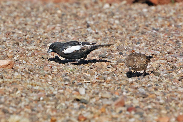 Prärieammern (New Mexico, April 2009)